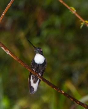 humingbird in Podocarpus National Park