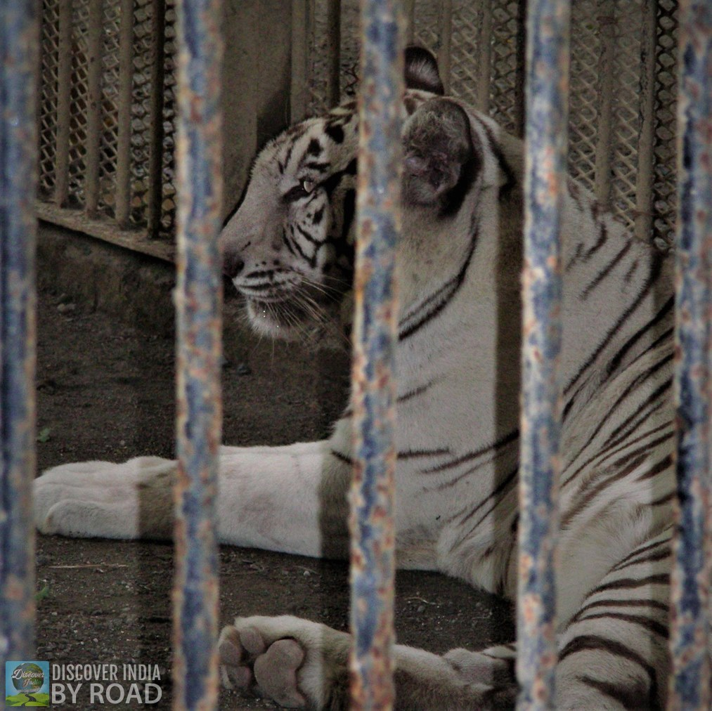 White Tiger behind the bars at Sakkarbaug Zoo, Junagadh