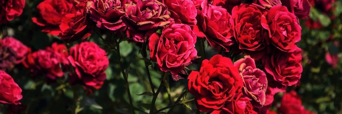 Coloma Rose Garden Belgium