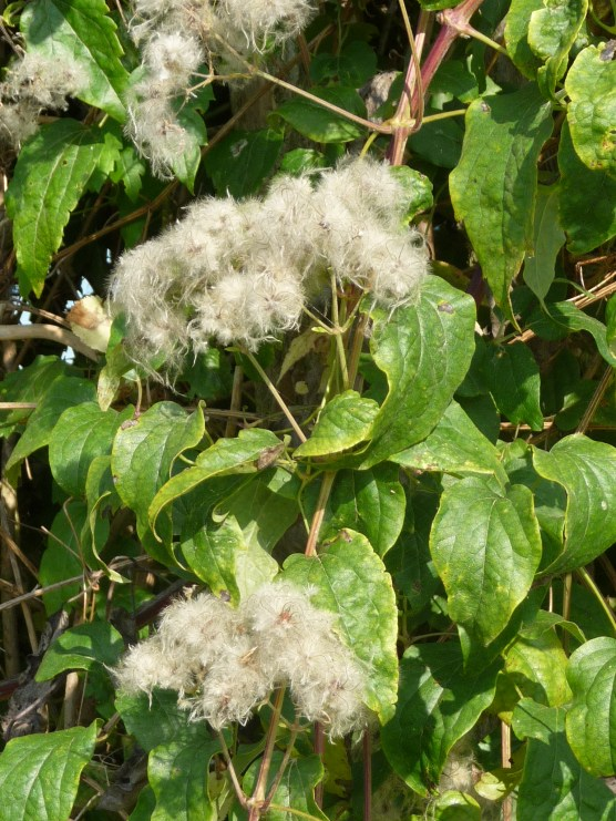 Clematis vitalba (also known as Old man's beard and Traveller's Joy)