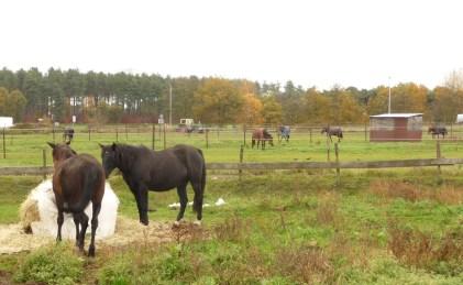 Horses in fields near Langdorp