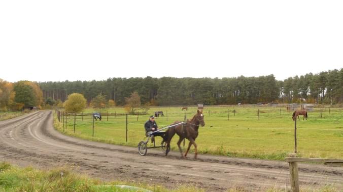 Trotting horse near Wolfsdonk, Belgium