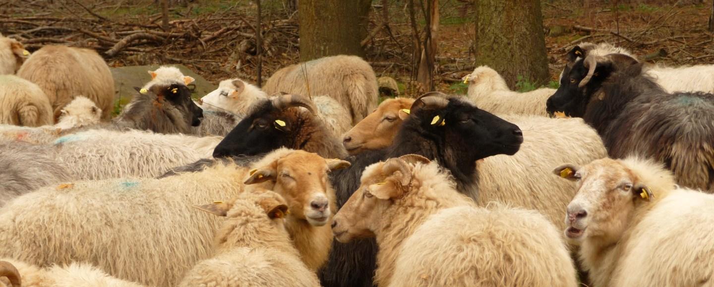 A flock of sheep on Averbode Heath