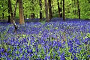 Hallerbos, Belgium: bluebell wood