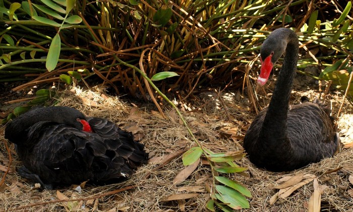 Black swans at Annevoie Gardens Belgium
