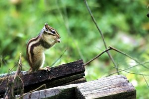 Siberian Chipmunks in Brussels
