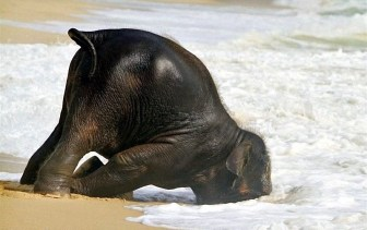 elephant_swim