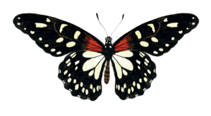 Butterfly illustrated