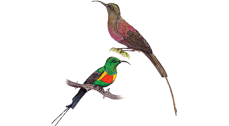Sunbirds illustrated