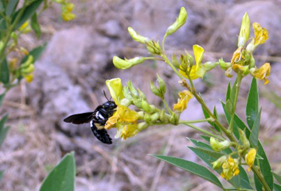 Xylocopa on Pigeonpea by D. Martins