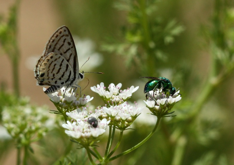 Lycaenid butterfly and cuckoo wasp on coriander flowers by D. J. Martins