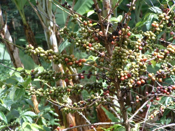 Ripening coffee berries by D. J. Martins
