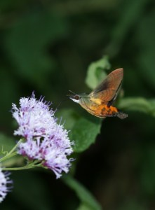 Unidentified hawkmoth on forest Vernonia by D. J. Martins