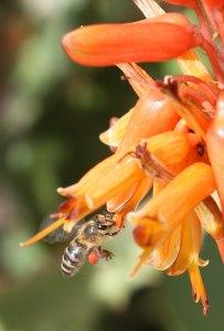 Honeybee on aloe at Kirisia by D. J. Martins