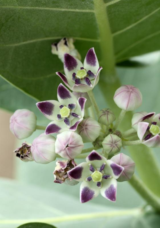 Calotropis procera a milkweed by D. J. Martins