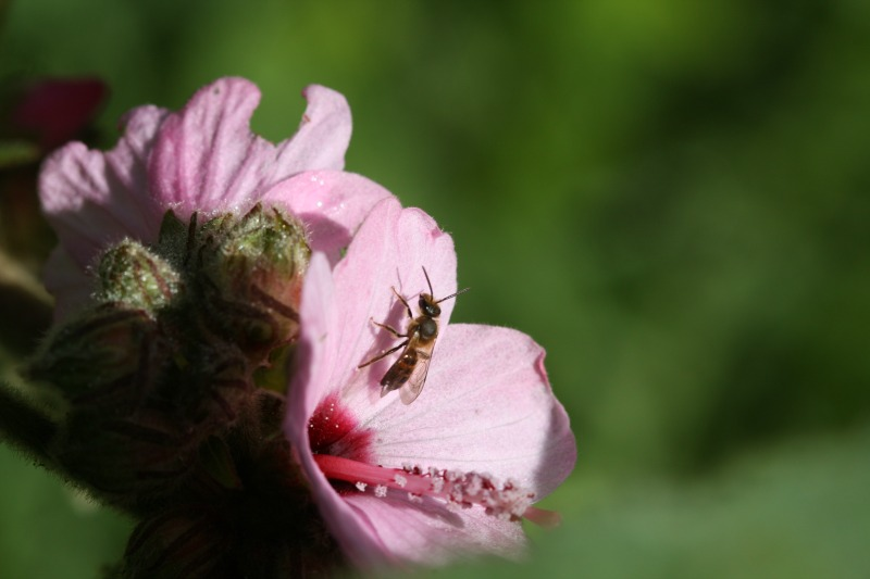 Long-faced bee Thrincostoma sp. by D. J. Martins