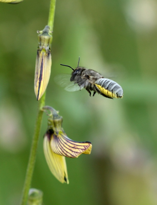 Large Leafcutter Bee Approaches Crotolaria Brevidens By D J Martins