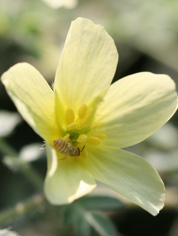 Tiny Nomioides in a flower of Tribulus terrestris by D. J. Martins