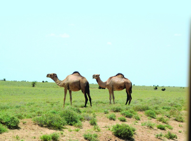 Camels are one of the livestock species whose diet is highly dependent on pollinators. Photo by D. J. Martins