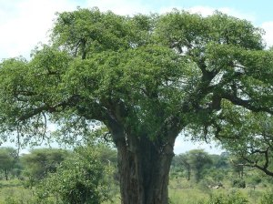 Baobab tree by D. J. Martins