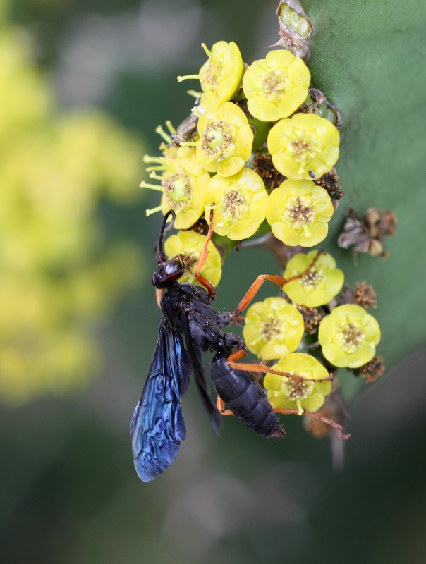 Spider hunting Pompilid wasp on euphorbia by D. J. Martins