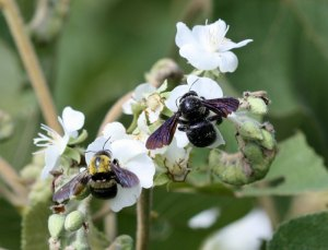 Carpenter bees on coastal Sterculiaceae sp. by D. J. Martins