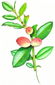 Acokanthera drawing by D. J. Martins