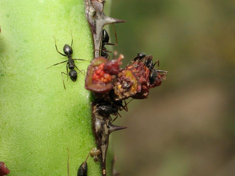 Camponotus braunsi ants on euphorbia heterspina baringoensis by D. J. Martins