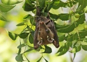 Fruit bat by D. J. Martins
