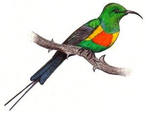 Beautiful Sunbird by Dino J. Martins