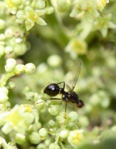Black scavenger fly (Sepsidae) on Rhus flowers by D. J. Martins