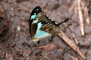 Green-patch Swallowtail sipping salts from mud by P. Usher