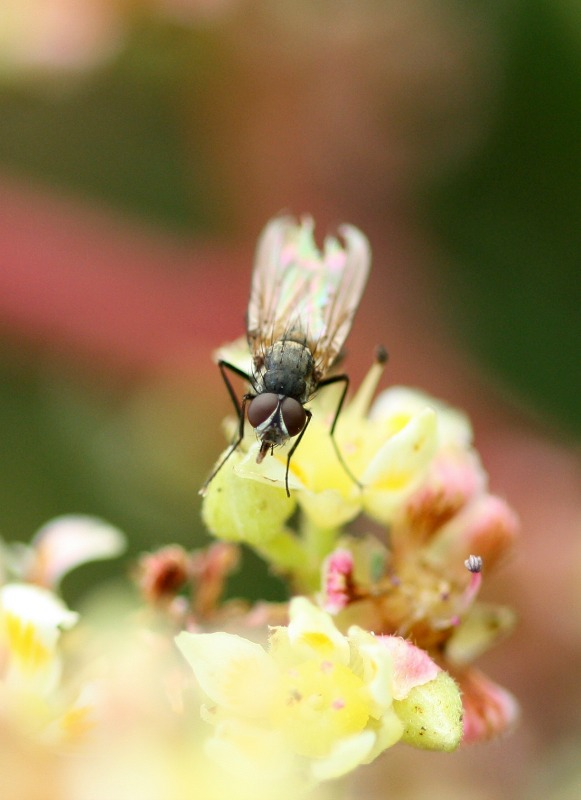 Fly pollinating mango flower by D. J. Martins