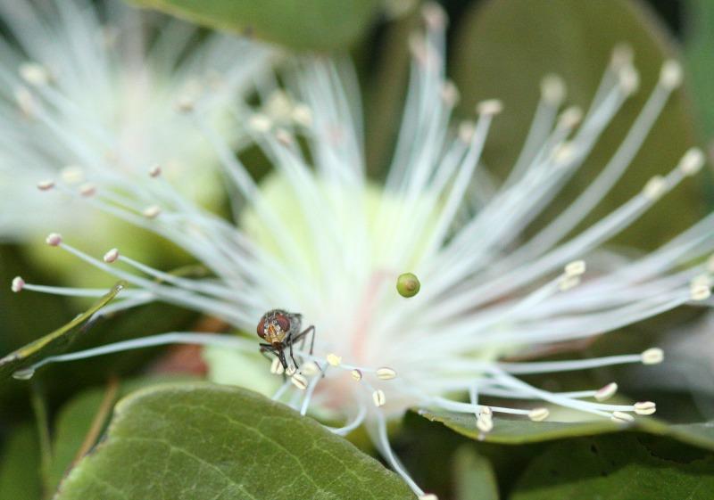 Pollen-feeding fly on Maerua by D. J. Martins