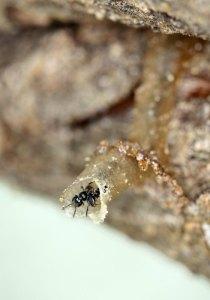 Small stingless bee (Hypotrigona sp.) by D.J. Martins