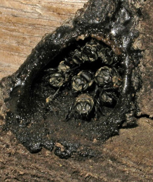 Large stingless bee by D.J. Martins