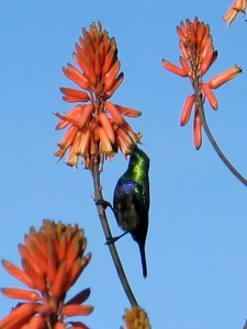 Marico Sunbird on flowering aloe by by Dino J. Martins