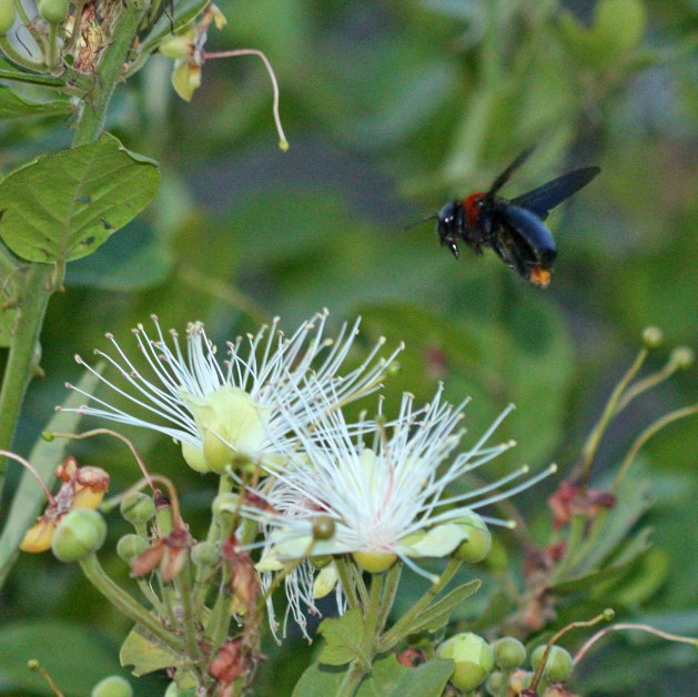 Carpenter bee Xylocopa flavorufa by D. J. Martins