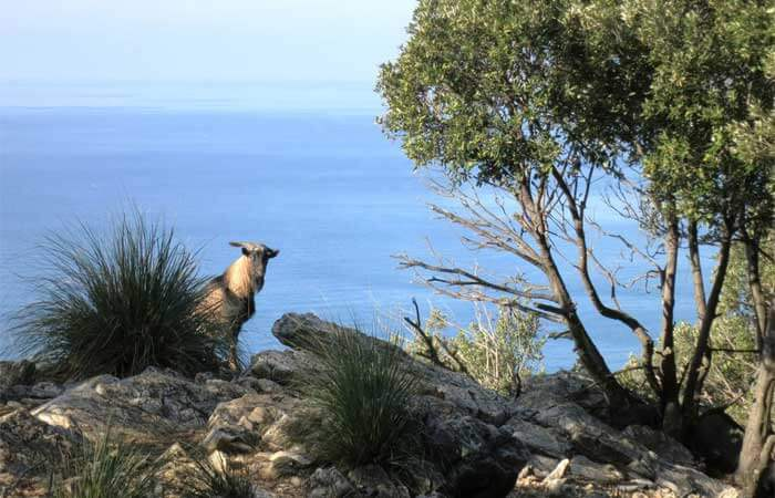 Goat on Palmaria Island, Liguria. Image by apathtolunch.com