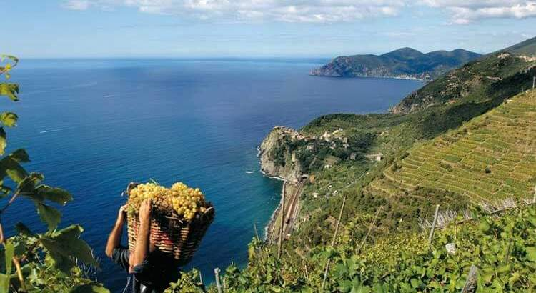 Grape Harvest in the Cinque Terre - photo from turismoinliguria.it