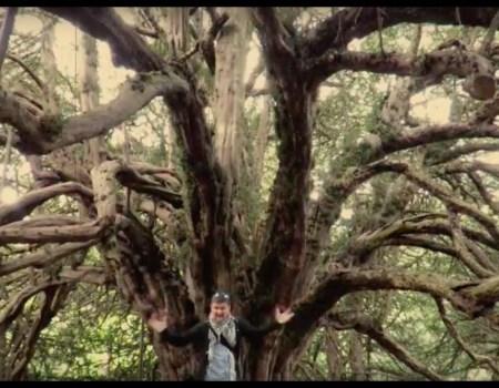 Sacred Scottish Yew Trees