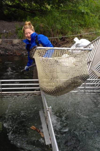Netting King Salmon