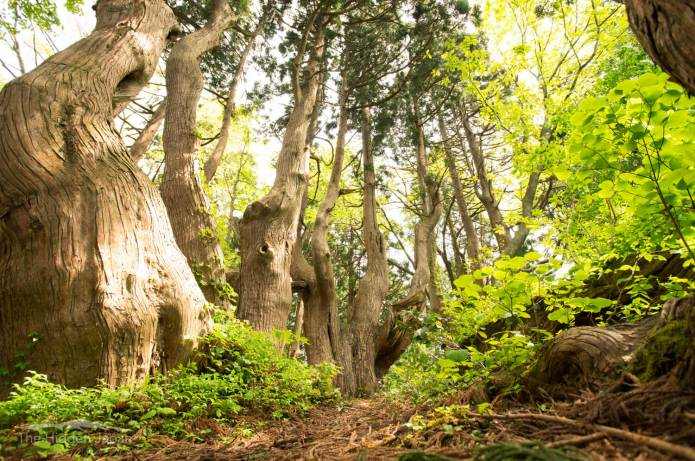 """Fantasy Forest"" is a mysterious spot where huge natural cedar trees over 1000 years old grow naturally"