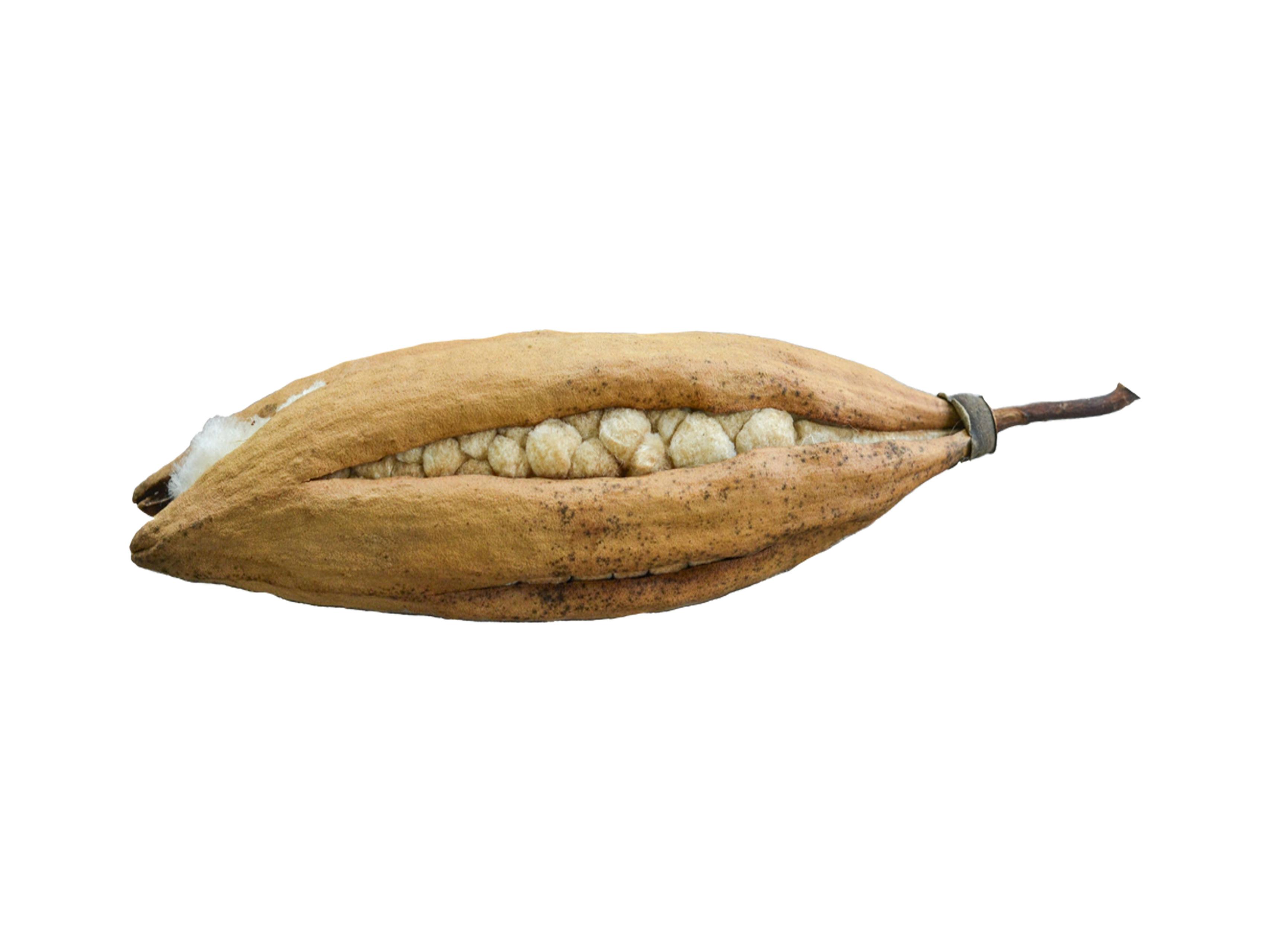 Kapok Pod Dried Plant Specimen