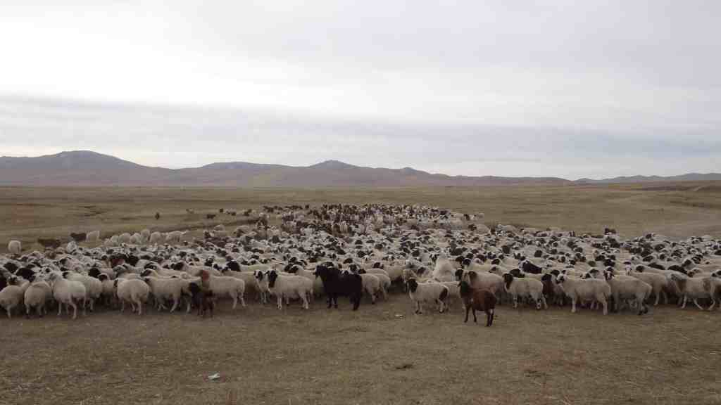 And lots of sheep
