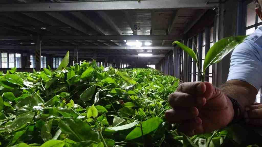 Nuwara Eliya Tea factory visit