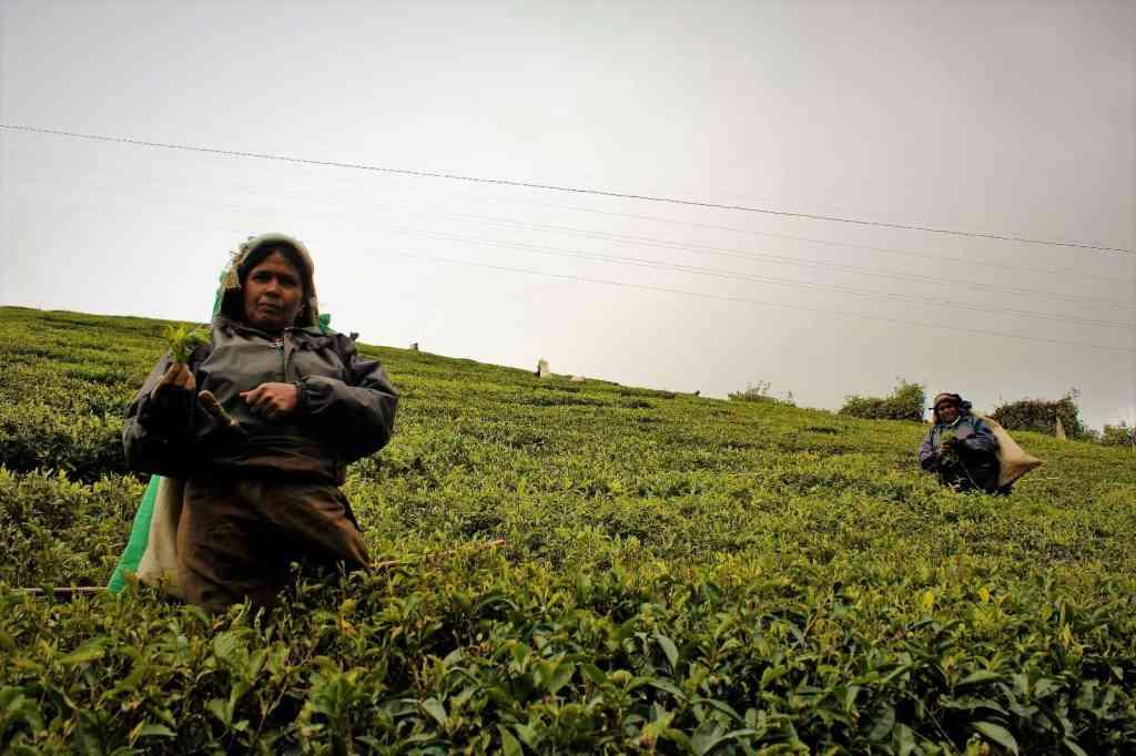 Things to do in Ella - watch ladies picking tea