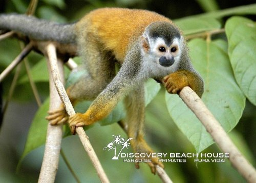 Mono Titis are endangered monkeys you'll see often on your beach vacation at Manuel Antonio, Costa Rica.