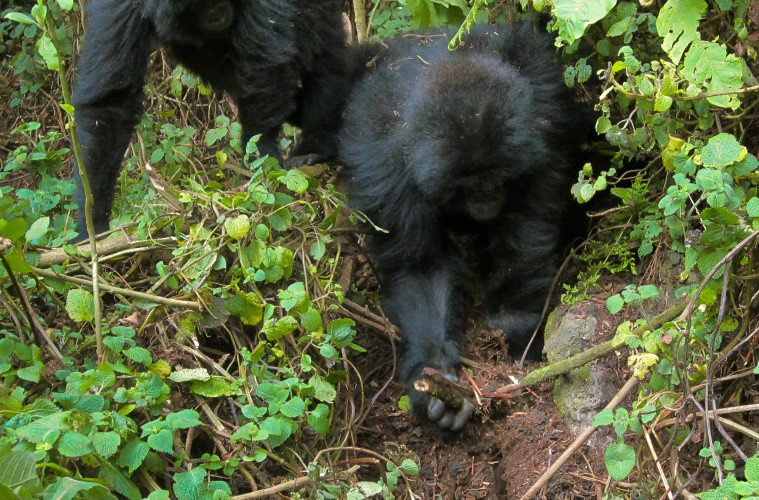 Young Gorillas Spotted Dismantling Poachers' Traps For The First Time