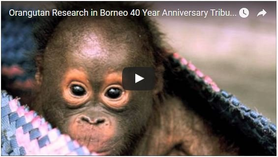 Orangutan Research in Borneo 40 Years